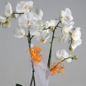 Biały storczyk w doniczce z pomarańczowym akcentem